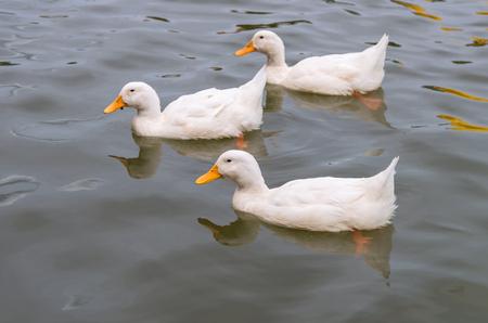 mallard duck: White duck swimming in the lake
