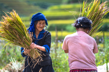 MU CANG CHAI - SEPTEMBER 24 : Undefined Vietnamese H'Mong farmers harvesting rice in terrace field at Mu cang chai on september 24, yenbai province, vietnam 免版税图像 - 50288252