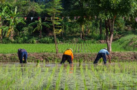 transplanting: rice seedling transplanting, back side