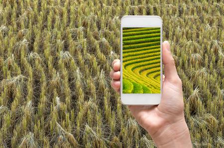 Mano femenina que sostiene el teléfono móvil inteligente de tomar imágenes arrozales de arroz