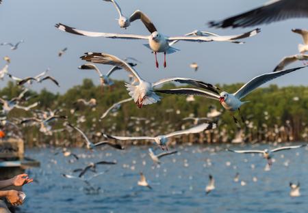 atrapar: Las gaviotas que vuelan para coger los alimentos Foto de archivo