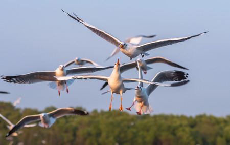 catch: Seagulls flying to catch food Stock Photo