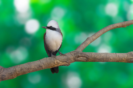 white crested laughingthrush: white-crested laughingthrush