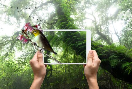 rain forest background: female hands holding a tablet take picture Oriental White-eye bird on Beautiful rain forest background, 3d concept