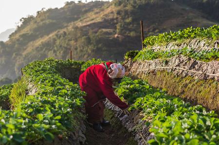 january sunrise: CHIANG MAI,THAILAND - JANUARY 11 : Unidentified farmer pick in Strawberry fruit when sunrise on January 11, 2016 in strawberry field,ang khang, Chiang mai, Thailand.