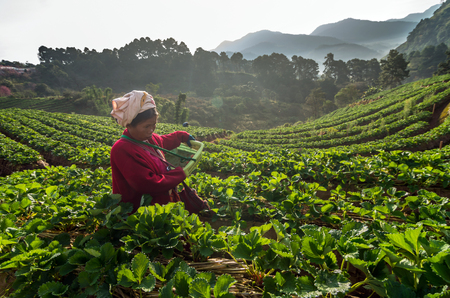 january sunrise: CHIANG MAI,THAILAND - JANUARY 11 : Unidentified farmer pick in Strawberry fruit when sunrise on January 11, 2016 in strawberry field,ang khang, Chiang mai, Thailand.