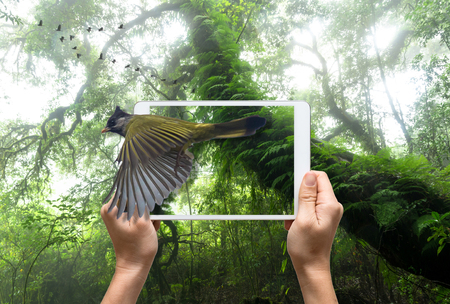 rain forest background: female hands holding a tablet take picture Crested Finchbill on Beautiful rain forest background, 3d concept