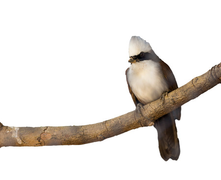 laughingthrush: white-crested laughingthrush on white background,isolate
