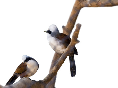 laughingthrush: white-crested laughingthrush on white background, isolate