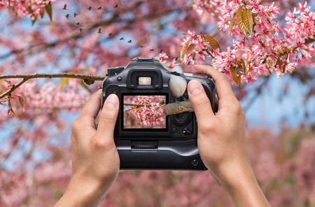 laughingthrush: Hands holding the camera which taking photo of white-crested laughingthrush bird on sakura tree background, 3d concept