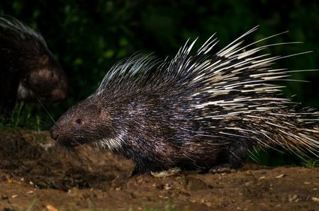 brush tailed: Brush-tailed (PorcupineAtherurus macrourus) in nature at night Stock Photo