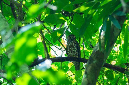 progesterone: Brown BooBook ( Ninox scutulata ) bird in the deep forest, Brown Hawk-owl