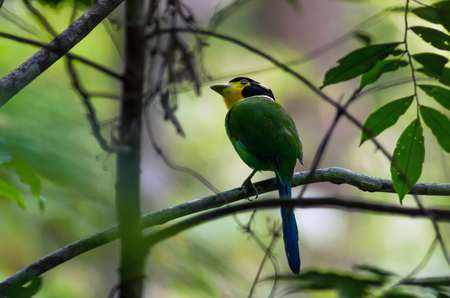 yellow tailed: long tailed broadbill on the tree in the deep forest