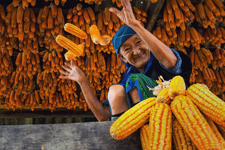 sep: YENBAI - SEP 20 : Undefined Vietnamese Hmong Old Woman are throwing the corn in the house of corn storage on september 20, 2017 at mu cang chai district,Yenbai province, northwest of Vietnam.