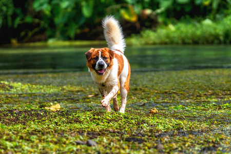 The Mixed breed dog in brown with white color standing over the lake in the deep forest, animal and nature concept Stock Photo