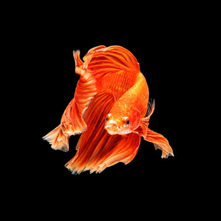 Movement beautiful of colorful siamese betta fish or half moon betta splendens fighting fish in thailand on black color background. underwater animal or pet concept