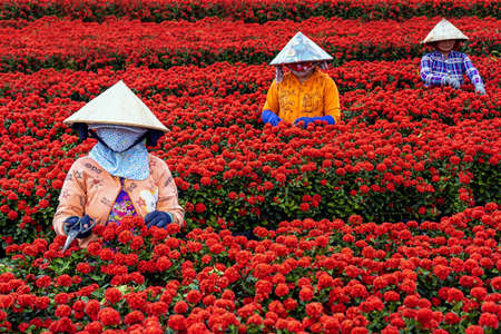 Group of Vietnamese farmers working with red flowers garden in sadec, dong thap province, vietnam,traditional and culture concept Zdjęcie Seryjne