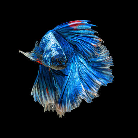 Movement beautiful of colorful siamese betta fish or half moon betta splendens fighting fish in thailand on black color background. underwater animal or pet concept Zdjęcie Seryjne - 164540671