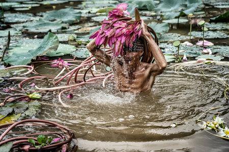 Old man Vietnamese picking up the beautiful pink lotus in the lake