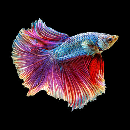 Movement beautiful of colorful siamese betta fish or half moon betta splendens fighting fish in thailand on black color background. underwater animal or pet concept Zdjęcie Seryjne - 164741677