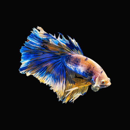 Movement beautiful of colorful siamese betta fish or half moon betta splendens fighting fish in thailand on black color background. underwater animal or pet concept Zdjęcie Seryjne - 164699671