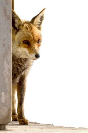 foxhunt: fox peeping behind a wall