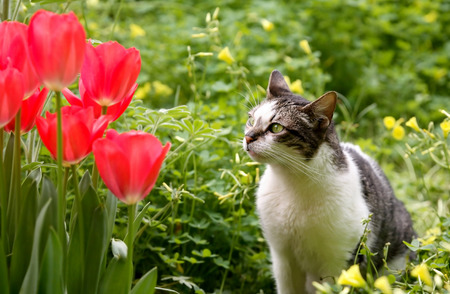 cat and tulips