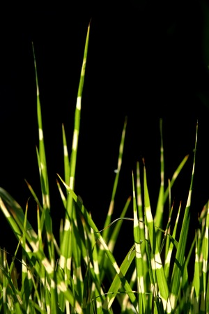 Zebra Gras Standard-Bild - 1424212