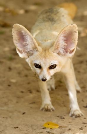 foxhunt: Fennec fox