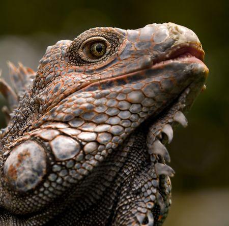 iguana Standard-Bild