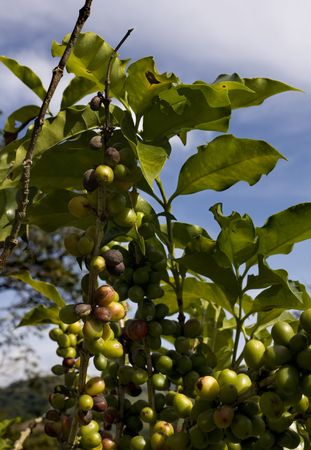 Rote und gelbe frische Früchte eines Kaffeestrauch  Standard-Bild - 2406777