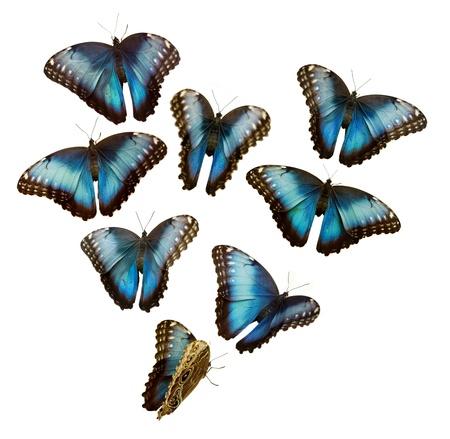 Blue-Morpho-Schmetterling Standard-Bild - 10175470