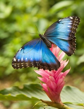 mariposa azul: Mariposa Morpho azul sobre una flor de jengibre