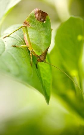 leaf katydid Standard-Bild