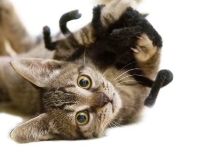 kitten playing with a toy spider