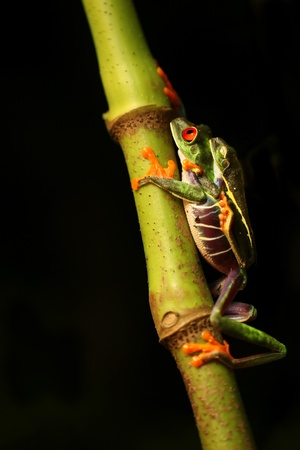 Red-eyed Tree frogs mating photo