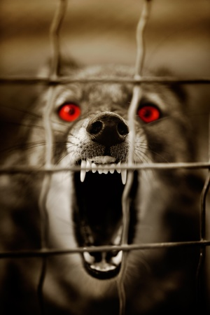 vicious: Guard dog behind a barbwire fence Stock Photo