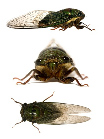 imago: cicada from side, front and up, shot in Costa Rica