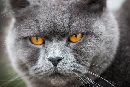 Burly British Shorthair Cat