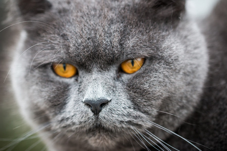 british shorthair: Burly British Shorthair Cat