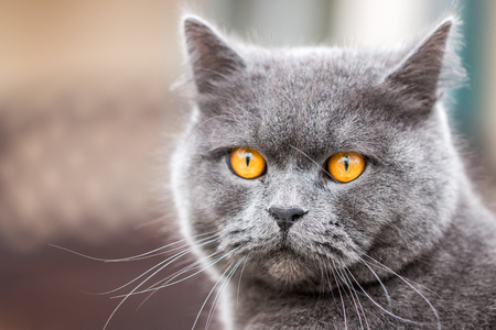 british shorthair: British Shorthair Cat
