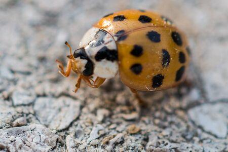 Orange ladybug with black dots cleaning its leg