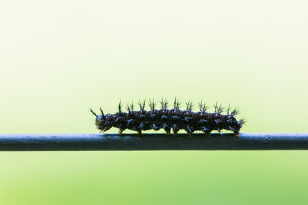 Black caterpillar crawling on a metal fence against green background