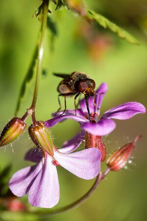 violette fleur: Macro mouche alimentation sur une fleur pourpre