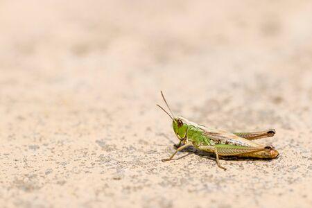 grasshopper: Grasshopper on the sidewalk Stock Photo