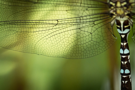 dragonfly wing: Dragonfly wing and body details Stock Photo