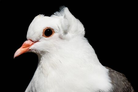 Closeup of a white pigeons head and beak against black background Stock Photo