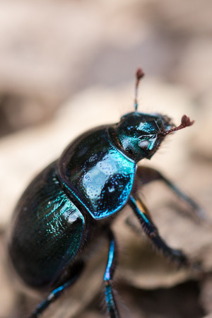 dung: Dung beetle closeup on wooden surface Stock Photo