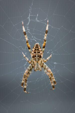 Cross spider inside its orb web