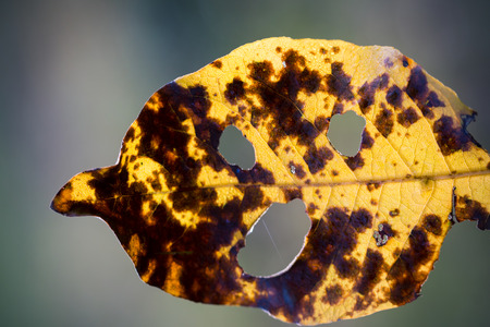 Intriguing yellow leaf looking like a human face